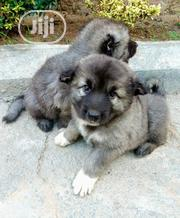 Baby Male Purebred Caucasian Shepherd | Dogs & Puppies for sale in Abia State, Umuahia