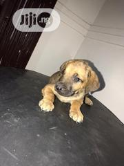 Young Female Purebred Boerboel | Dogs & Puppies for sale in Abia State, Umuahia