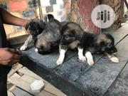 Young Male Purebred Caucasian Shepherd   Dogs & Puppies for sale in Abuja (FCT) State, Central Business Dis