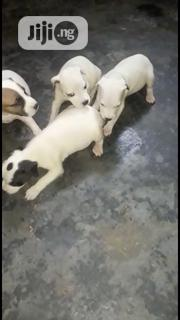 Baby Male Purebred American Pit Bull Terrier | Dogs & Puppies for sale in Rivers State, Obio-Akpor