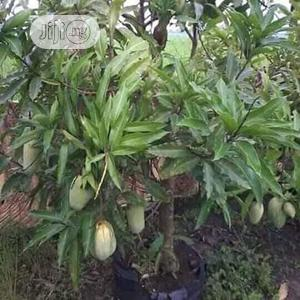 Introducing The Dwarf German Mango, Good For Your Tropics. | Feeds, Supplements & Seeds for sale in Ogun State, Obafemi-Owode