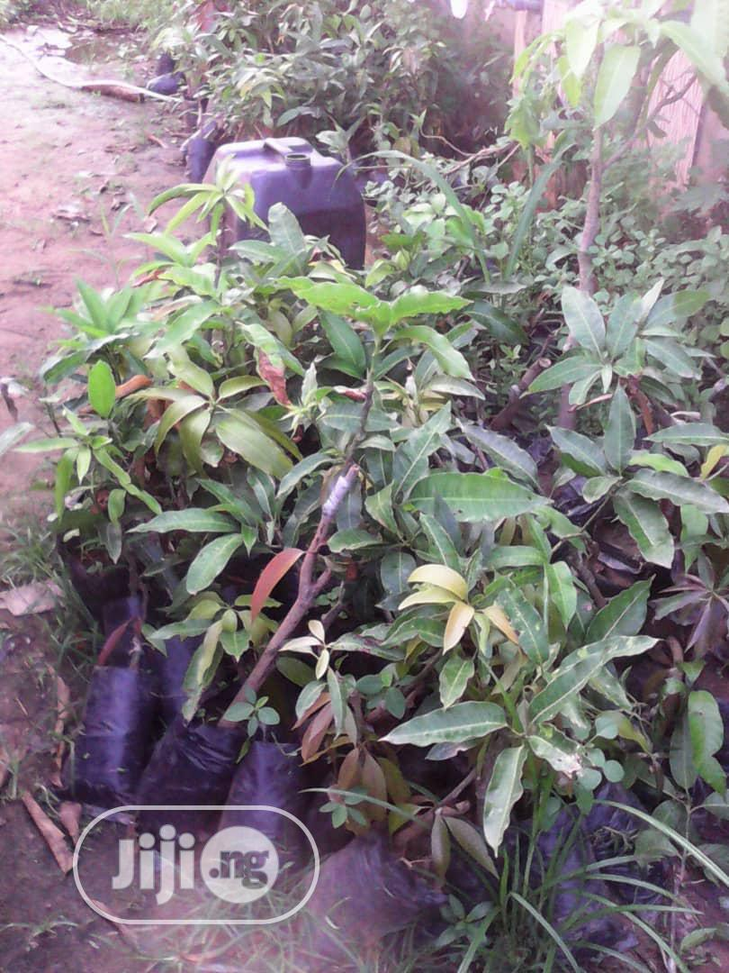 Introducing The Dwarf German Mango, Good For Your Tropics. | Feeds, Supplements & Seeds for sale in Obafemi-Owode, Ogun State, Nigeria