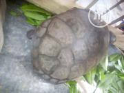 Repitles For Sale At Afforable Price | Reptiles for sale in Oyo State, Eruwa