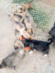 Baby Male Purebred German Shepherd | Dogs & Puppies for sale in Abia State, Osisioma Ngwa