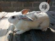 Cheap Rabbits Or Bunnies For Sell | Livestock & Poultry for sale in Ogun State, Abeokuta North