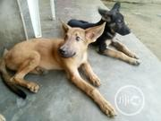 Young Male Purebred German Shepherd | Dogs & Puppies for sale in Akwa Ibom State, Onna