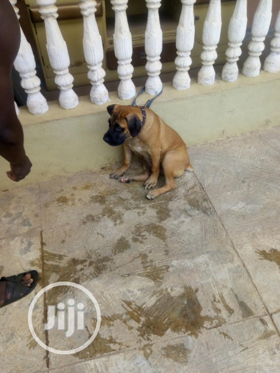 Archive: Young Female Purebred Boerboel