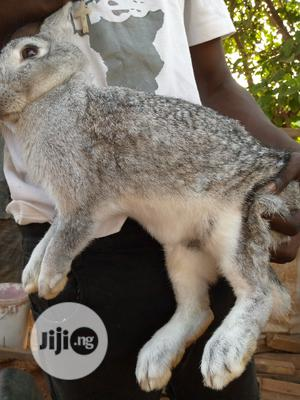 Pregnant Flemish Gaint | Livestock & Poultry for sale in Lagos State, Ikorodu