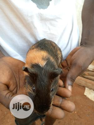 Pregnant Guinea Pig | Livestock & Poultry for sale in Lagos State, Ikorodu