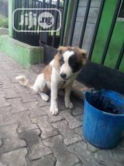 Young Male Purebred Saint Bernard | Dogs & Puppies for sale in Rivers State, Obio-Akpor