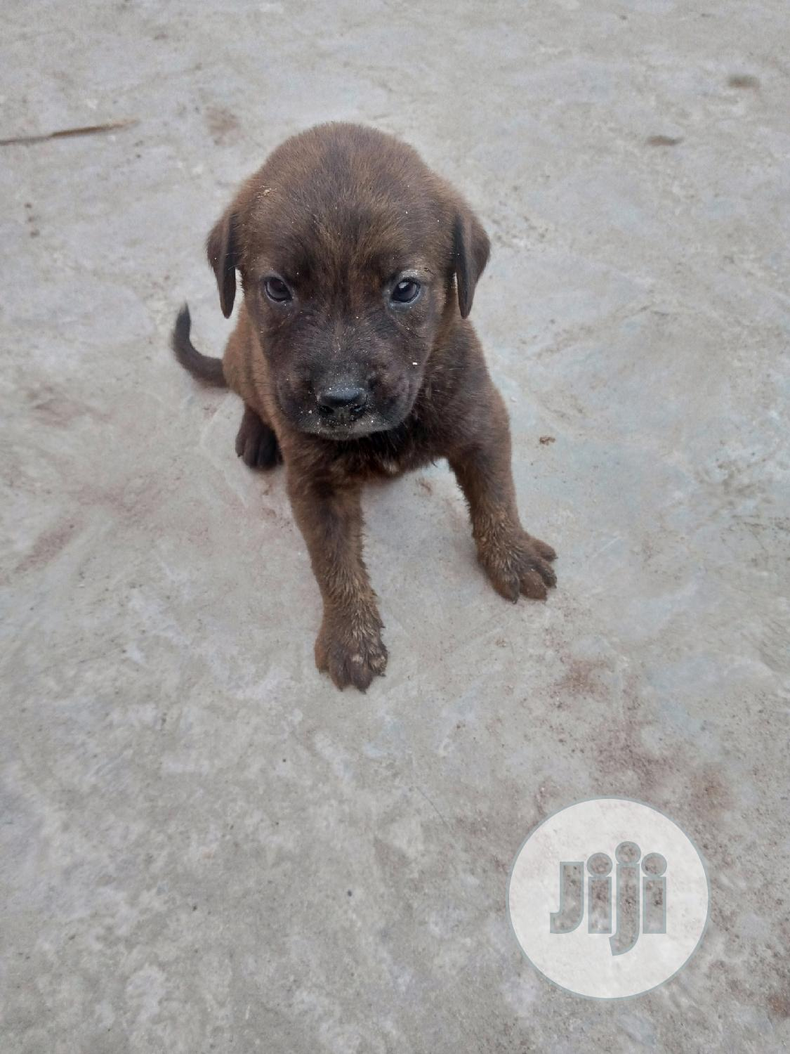 Archive: Baby Male Mixed Breed Rottweiler