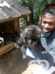 Baby Male Purebred Caucasian Shepherd | Dogs & Puppies for sale in Rivers State, Obio-Akpor