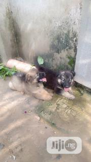 Baby Female Purebred Caucasian Shepherd | Dogs & Puppies for sale in Rivers State, Obio-Akpor