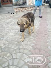 Young Male Purebred Caucasian Shepherd | Dogs & Puppies for sale in Rivers State, Obio-Akpor