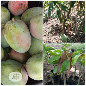 Mango Seedling | Feeds, Supplements & Seeds for sale in Oyo State, Egbeda