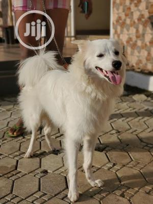 1+ Year Male Purebred American Eskimo   Dogs & Puppies for sale in Abuja (FCT) State, Apo District