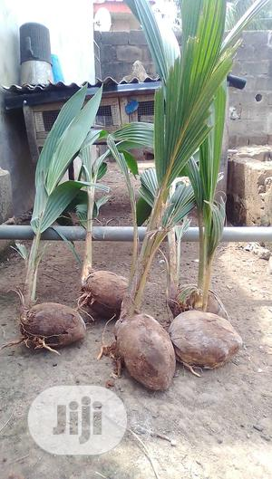 Coconut For Planting Is Available At Afaulks Farms Ikorodu. | Feeds, Supplements & Seeds for sale in Lagos State, Ikorodu