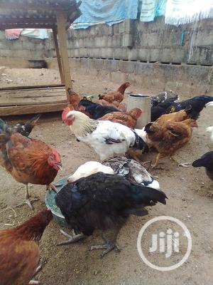 Nueiler Birds For Sale At Ikorodu   Livestock & Poultry for sale in Lagos State, Ikorodu