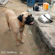 Adult Female Purebred Bullmastiff | Dogs & Puppies for sale in Rivers State, Port-Harcourt