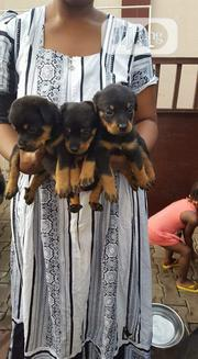 Baby Male Purebred Rottweiler   Dogs & Puppies for sale in Abuja (FCT) State, Central Business Dis