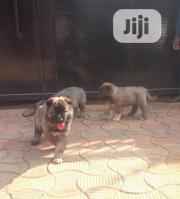 Baby Female Purebred Caucasian Shepherd   Dogs & Puppies for sale in Abuja (FCT) State, Central Business Dis