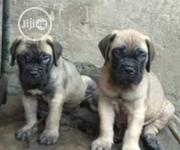 Baby Male Purebred Boerboel   Dogs & Puppies for sale in Abuja (FCT) State, Central Business Dis