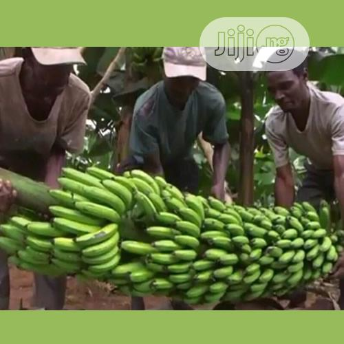 Treated Hybrid Giant Fhia 17 Banana Suckers In Benin City Feeds Supplements Seeds Ofulue Precious Jiji Ng For Sale In Benin City Buy Feeds Supplements Seeds From Ofulue