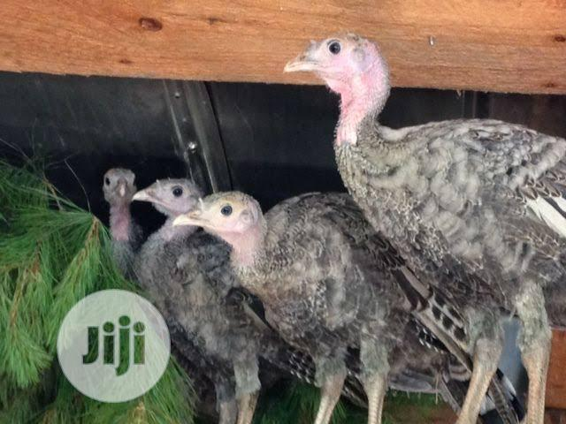 Archive: 10 Weeks Turkey for Sale