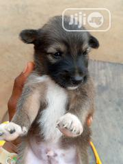 Baby Male Mixed Breed Caucasian Shepherd | Dogs & Puppies for sale in Abia State, Umuahia