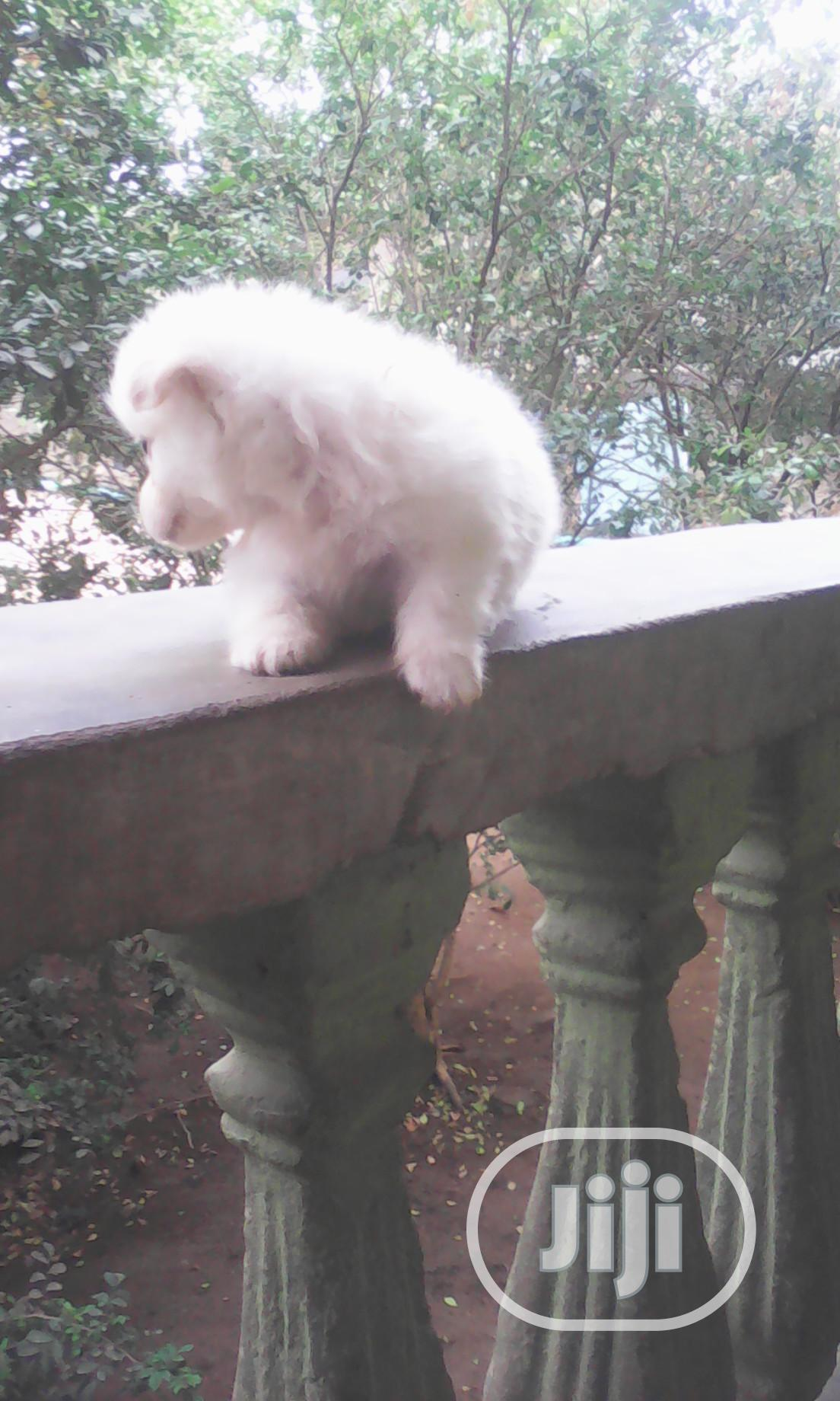 Archive: Baby Male Purebred Samoyed