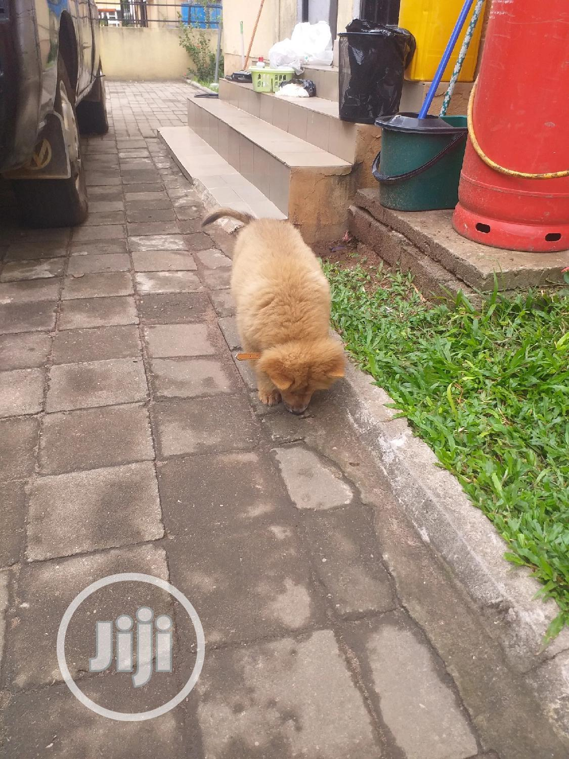 Archive: Baby Male Purebred Chow Chow