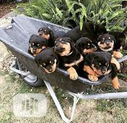 Baby Female Purebred Rottweiler | Dogs & Puppies for sale in Zamfara State, Kaura Namoda
