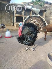 7 Months Old Mature Turkey For Sales | Livestock & Poultry for sale in Lagos State, Alimosho