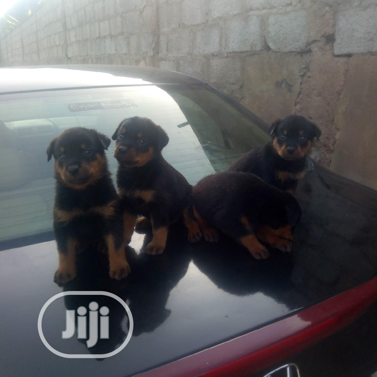 Baby Female Purebred Rottweiler | Dogs & Puppies for sale in Ibadan, Oyo State, Nigeria