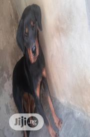 Young Female Purebred Rottweiler | Dogs & Puppies for sale in Nasarawa State, Akwanga
