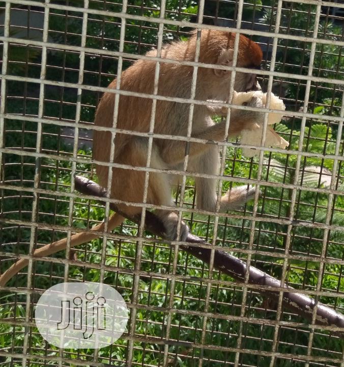 Cameroun Monkey