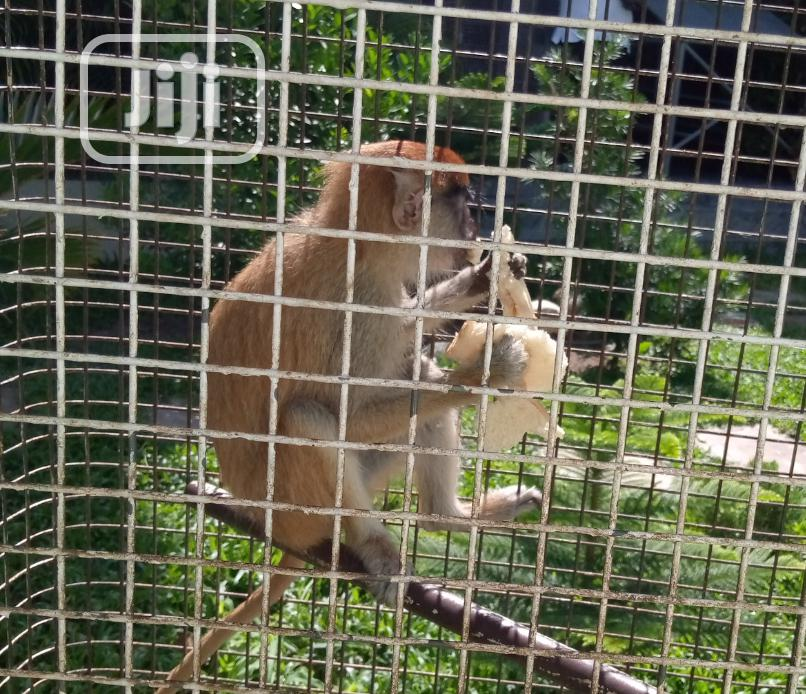 Cameroun Monkey | Other Animals for sale in Ikorodu, Lagos State, Nigeria