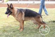 Baby Female Purebred German Shepherd | Dogs & Puppies for sale in Rivers State, Obio-Akpor