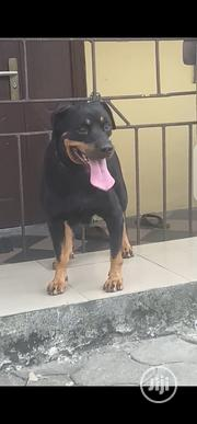 Adult Female Purebred Rottweiler | Dogs & Puppies for sale in Rivers State, Obio-Akpor