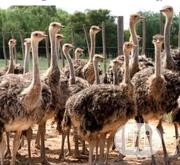 Ostrich Birds For Sale | Birds for sale in Kano State, Bagwai