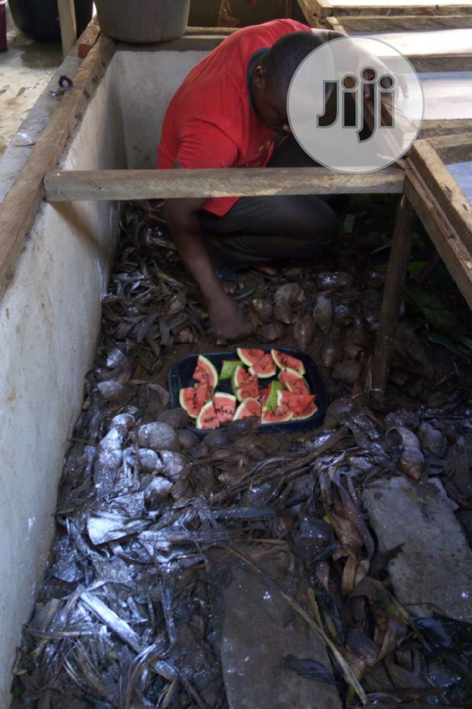 Practical Snail Farming In Nigeria