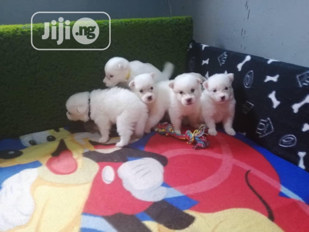 Young Female Purebred American Eskimo   Dogs & Puppies for sale in Ugheli, Delta State, Nigeria