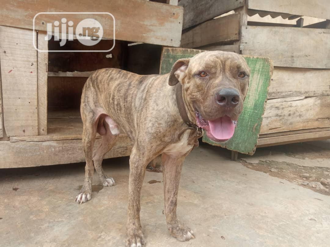 Archive: Adult Male Purebred Boerboel