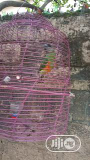 Parrot Ready For New Home | Birds for sale in Oyo State, Ibadan