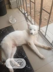 Young Male Purebred American Eskimo | Dogs & Puppies for sale in Delta State, Ethiope West