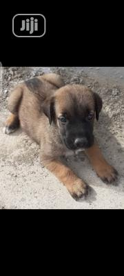 Baby Female Purebred Boerboel   Dogs & Puppies for sale in Abuja (FCT) State, Central Business Dis