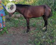 Horse For Sale | Other Animals for sale in Ogun State, Ifo