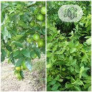 Lemon Seedling | Feeds, Supplements & Seeds for sale in Oyo State, Egbeda