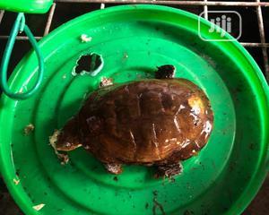 Brown Tortoise | Reptiles for sale in Lagos State, Lekki