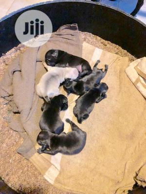 1-3 Month Female Purebred Pug | Dogs & Puppies for sale in Edo State, Benin City